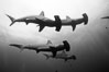 Hammerhead sharks, schooling, black and white / grainy. Darwin Island, Galapagos Islands, Ecuador. Image #16254