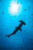 Scalloped hammerhead shark, black and white / grainy. Darwin Island, Galapagos Islands, Ecuador. Image #16265