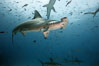 Scalloped hammerhead shark. Darwin Island, Galapagos Islands, Ecuador. Image #16269