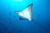 Spotted eagle ray. Wolf Island, Galapagos Islands, Ecuador. Image #16329