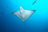 Spotted eagle ray. Wolf Island, Galapagos Islands, Ecuador. Image #16334