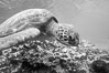 Turtle, Black and white / grainy. Bartolome Island, Galapagos Islands, Ecuador. Image #16387