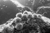 Urchins on rock, black and white / grainy. Isla Lobos, Galapagos Islands, Ecuador. Image #16418