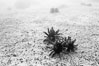 Urchins on sand, black and white / grainy. Isla Lobos, Galapagos Islands, Ecuador. Image #16420