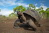 Galapagos tortoise, Santa Cruz Island species, highlands of Santa Cruz island. Galapagos Islands, Ecuador. Image #16490