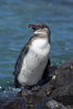 Galapagos penguin, perched on volcanic rocks.  Galapagos penguins are the northernmost species of penguin. Punta Albemarle. Isabella Island, Galapagos Islands, Ecuador. Image #16516