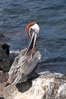 Brown pelican. North Seymour Island, Galapagos Islands, Ecuador