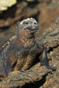 Marine iguana on volcanic rocks at the oceans edge, Punta Albemarle. Isabella Island, Galapagos Islands, Ecuador. Image #16576