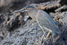 Lava heron on volcanic rocks at the oceans edge, Punta Albemarle. Isabella Island, Galapagos Islands, Ecuador. Image #16586