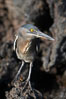 Lava heron on volcanic rocks at the oceans edge, Punta Albemarle. Isabella Island, Galapagos Islands, Ecuador. Image #16588
