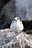 Swallow-tailed gull chick. Wolf Island, Galapagos Islands, Ecuador. Image #16592