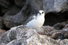 Swallow-tailed gull chick. Wolf Island, Galapagos Islands, Ecuador. Image #16598