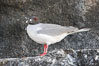 Swallow-tailed gull. Wolf Island, Galapagos Islands, Ecuador. Image #16599
