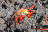 Sally lightfoot crab on volcanic rocks, Punta Albemarle. Isabella Island, Galapagos Islands, Ecuador. Image #16601