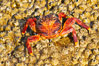 Sally lightfoot crab on barnacles. North Seymour Island, Galapagos Islands, Ecuador. Image #16602