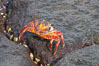 Sally lightfoot crab on volcanic rocks, Punta Albemarle. Isabella Island, Galapagos Islands, Ecuador. Image #16603