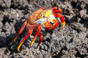 Sally lightfoot crab on volcanic rocks, Punta Albemarle. Isabella Island, Galapagos Islands, Ecuador. Image #16606