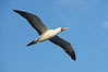 Nazca booby in flight. Wolf Island, Galapagos Islands, Ecuador. Image #16681