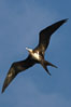 Great frigatebird, juvenile, in flight, rust-color neck identifies species.  Wolf Island. Galapagos Islands, Ecuador. Image #16714