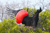 Magnificent frigatebird, adult male on nest, with raised wings and throat pouch inflated in a courtship display to attract females. North Seymour Island, Galapagos Islands, Ecuador. Image #16728