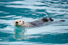 Sea otter. Resurrection Bay, Kenai Fjords National Park, Alaska, USA. Image #16937