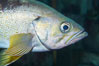 Yellowtail rockfish are found the eastern Aleutian island as far south as southern California, and can live over 60 years. Image #16959