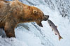 Alaskan brown bear catching a jumping salmon, Brooks Falls. Brooks River, Katmai National Park, Alaska, USA. Image #17032