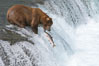 Alaskan brown bear catching a jumping salmon, Brooks Falls. Brooks River, Katmai National Park, Alaska, USA. Image #17033