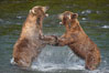 Two mature brown bears fight to establish hierarchy and fishing rights. Brooks River, Katmai National Park, Alaska, USA. Image #17036