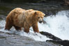 A large, old brown bear (grizzly bear) wades across Brooks River. Coastal and near-coastal brown bears in Alaska can live to 25 years of age, weigh up to 1400 lbs and stand over 9 feet tall. Brooks River, Katmai National Park, Alaska, USA. Image #17038