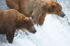 Brown bear (grizzly bear). Brooks River, Katmai National Park, Alaska, USA. Image #17040