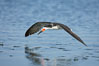 Black skimmer forages by flying over shallow water with its lower mandible dipping below the surface for small fish. San Diego Bay National Wildlife Refuge, California, USA. Image #17422
