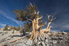 Bristlecone pine displays its characteristic gnarled, twisted form as it rises above the arid, dolomite-rich slopes of the White Mountains at 11000-foot elevation. Patriarch Grove, Ancient Bristlecone Pine Forest. White Mountains, Inyo National Forest, California, USA. Image #17475