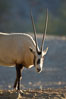 Arabian oryx.  The Arabian oryx is now extinct in the wild over its original range, which included the Sinai and Arabian peninsulas, Jordan, Syria and Iraq.  A small population of Arabian oryx have been reintroduced into the wild in Oman, with some success. Image #17956