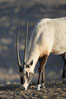 Arabian oryx.  The Arabian oryx is now extinct in the wild over its original range, which included the Sinai and Arabian peninsulas, Jordan, Syria and Iraq.  A small population of Arabian oryx have been reintroduced into the wild in Oman, with some success. Image #17957