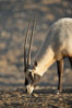 Arabian oryx.  The Arabian oryx is now extinct in the wild over its original range, which included the Sinai and Arabian peninsulas, Jordan, Syria and Iraq.  A small population of Arabian oryx have been reintroduced into the wild in Oman, with some success. Image #17958