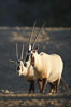Arabian oryx.  The Arabian oryx is now extinct in the wild over its original range, which included the Sinai and Arabian peninsulas, Jordan, Syria and Iraq.  A small population of Arabian oryx have been reintroduced into the wild in Oman, with some success. Image #17959