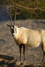 Arabian oryx.  The Arabian oryx is now extinct in the wild over its original range, which included the Sinai and Arabian peninsulas, Jordan, Syria and Iraq.  A small population of Arabian oryx have been reintroduced into the wild in Oman, with some success. Image #17960