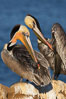 A brown pelican preening, reaching with its beak to the uropygial gland (preen gland) near the base of its tail.  Preen oil from the uropygial gland is spread by the pelican's beak and back of its head to all other feathers on the pelican, helping to keep them water resistant and dry. La Jolla, California, USA
