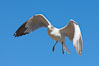 Ring-billed gull in flight. La Jolla, California, USA. Image #18301