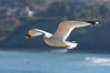 Ring-billed gull in flight. La Jolla, California, USA. Image #18302