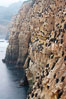 Cormorants rest on sandstone seacliffs above the ocean.  Likely Brandts and double-crested cormorants. La Jolla, California, USA. Image #18345
