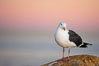 Western gull, early morning pink sky. La Jolla, California, USA. Image #18394