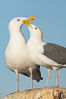 Western gulls, courtship behaviour. La Jolla, California, USA. Image #18397