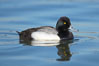 Lesser scaup, male, breeding plumage. Mission Bay, San Diego, California, USA. Image #18418