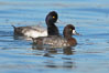 Lesser scaups, female (f) and male (r), breeding plumage. Mission Bay, San Diego, California, USA. Image #18419
