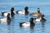 Lesser scaups, single female and five males, breeding plumage. Mission Bay, San Diego, California, USA. Image #18420