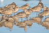 Marbled godwits resting on sand bar. San Diego River, California, USA. Image #18429