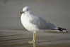 Ring-billed gull, Cardiff. Cardiff by the Sea, California, USA. Image #18598
