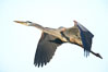 Great blue heron in flight. Batiquitos Lagoon, Carlsbad, California, USA. Image #18723